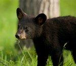 whistler-bear-cub